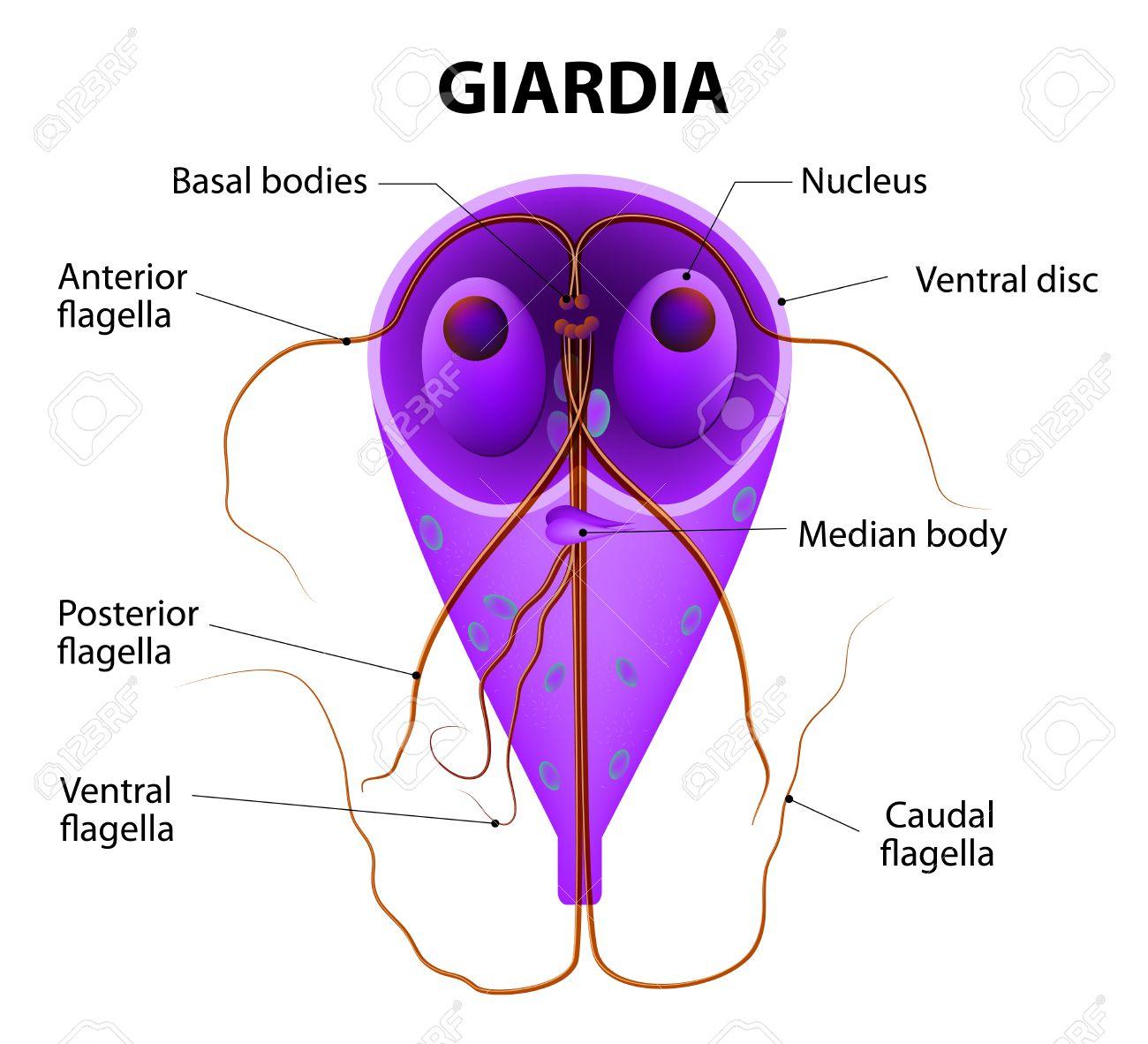 giardiasis protozoa hogyan lehet meggyógyítani a pikkelyes papillómákat