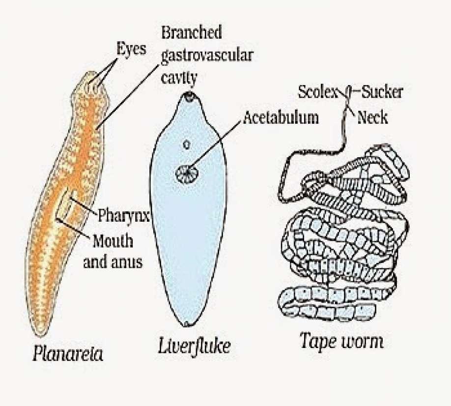 jelentése platyhelminthes phylum papilloma vírus és végbélnyílás