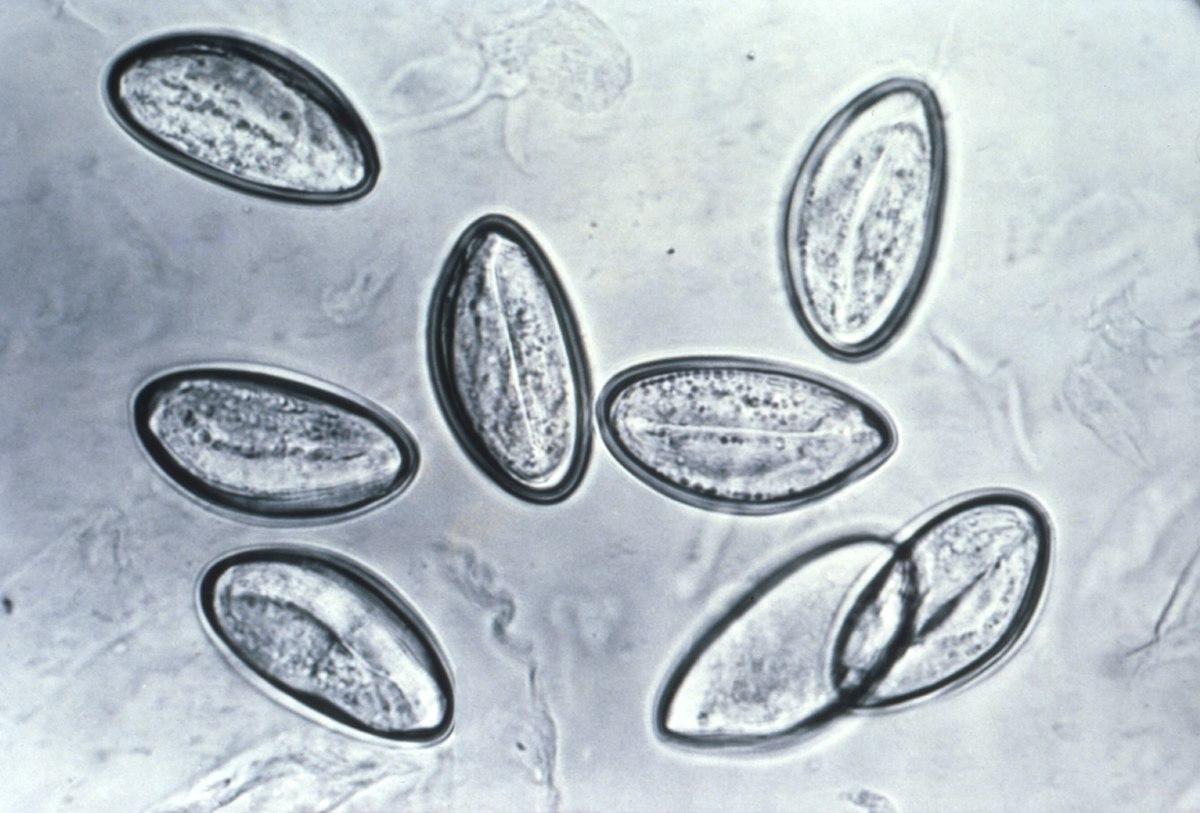enterobiosis miért