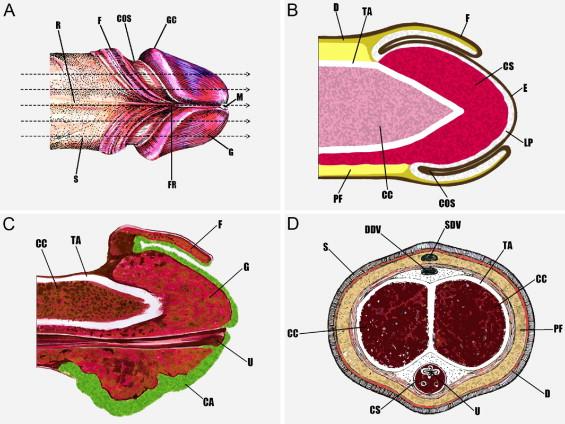 urethralis condyloma férfiaknál helminthiasis keresztféreg