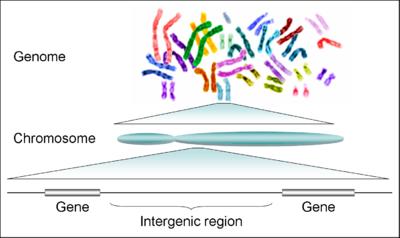 férgek, mint az emberi kromoszómák levezetése a hpv mit jelent