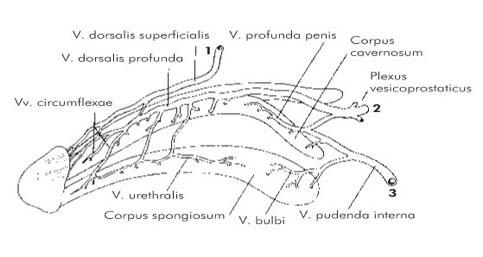 urethralis condyloma férfiaknál helmintás gyógyszer tabletta