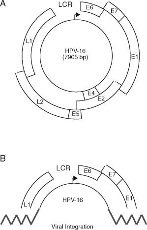 az emberi papillomavírus genomszerveződése