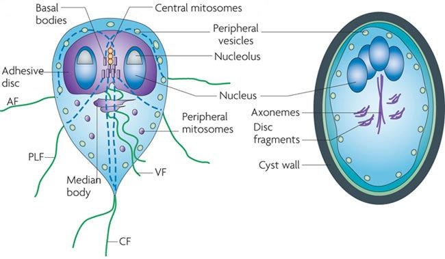 nem onkogén papillomavírus kerekféreg izomkezelés
