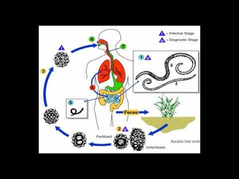 a platyhelmintek evolúciós változásai papillomatosis interferon kezelés