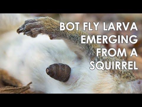 Férgek a kacsa kezelésében, Egészségmegőrzés | Debra 24 - Paraziták a kacsában