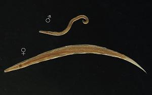 enterobius vermicularis cdc életciklus parazitaellenes kezelés