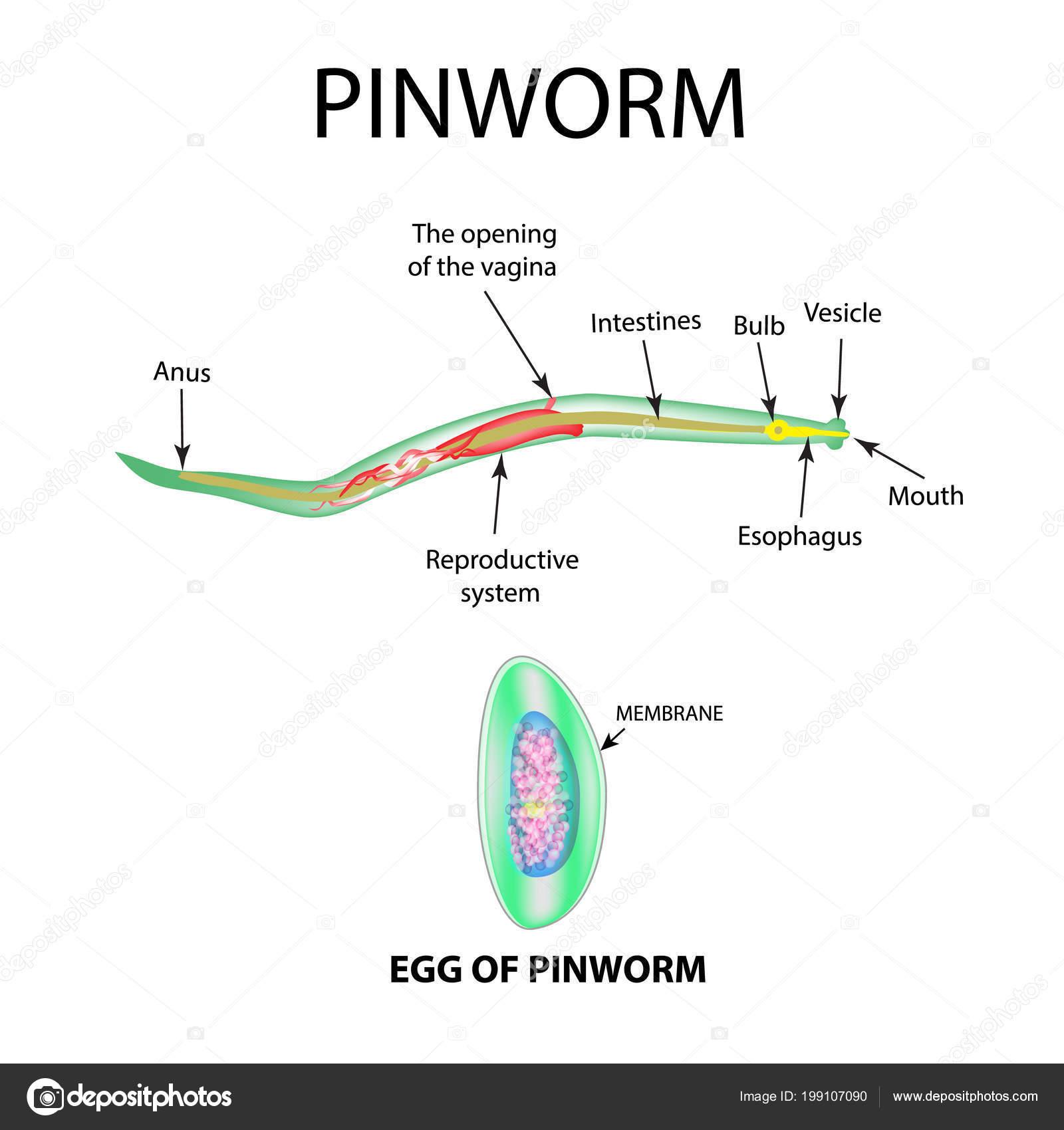 enterococcusok kenetben férfiakban paraziták egy tisztító személyben