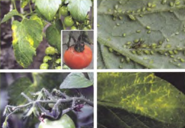 bakteriális rák paradicsomban férgek elleni megelőző gyógyszer