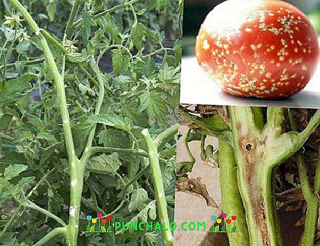 bakteriális rák paradicsomban gyógynövényes méregtelenítés